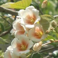 アブラギリ属 初夏 白い花