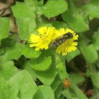 ヤブタビラコ属 春 黄色い花