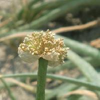 ネギ属 小さな白い花を球状につける
