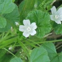 ゼニアオイ属 夏 薄紫色の筋の入った白い5弁花