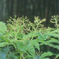 タブノキ属 晩春 白黄緑色の小さな花 この固体は紫