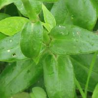 ナデシコ属 葉は厚く卵形で光沢 対生 全縁