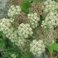 カワラボウフウ属 夏 小さな白い花を多数つける