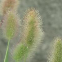 エノコログサ属 夏秋 茶褐色に熟す楕円形の穂