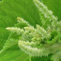 カラムシ属 夏 黄緑色の雄花