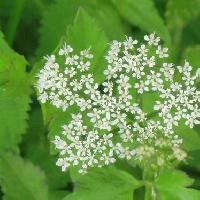 セリ属 夏に小さな白い花を多数つける