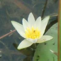 スイレン属 夏に白い花