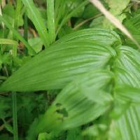 カキラン属 葉は全縁楕円形で先端は尾状に伸び互生