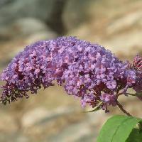 フジウツギ属 夏 薄紫の花