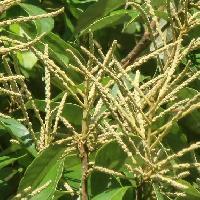 マテバシイ属 秋 黄緑色の穂状の花