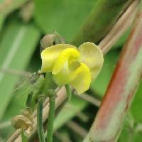 ササゲ属 初秋 黄色い花