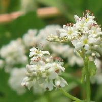 ソバ属 晩夏~晩春 小さな白い花