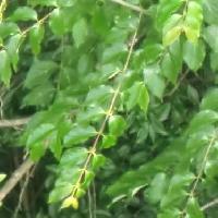 カギカズラ属 楕円形~卵形 全縁 対生