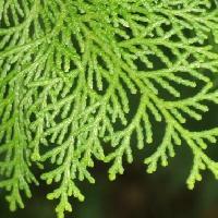 ヒノキ属 細かいうろこ状の葉