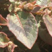 イヌタデ属 卵形互生鋸歯 黒いハの字型の斑