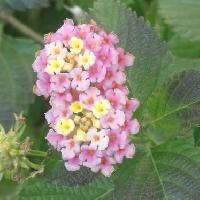 ランタナ属 春夏秋冬 黄、ピンク 花を球状につける
