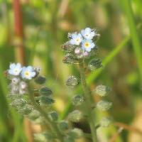 ワスレナグサ属 晩春~初夏 小さな青い花
