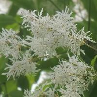 トネリコ属 晩春 白い花