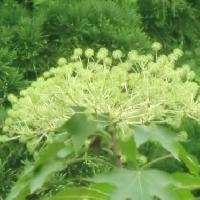 ハリギリ属 夏黄緑色の小さな花を球状に多数つける