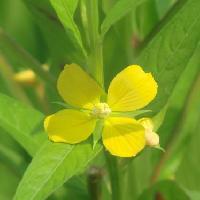 チョウジタデ属 晩夏から初秋に小さな黄色い花