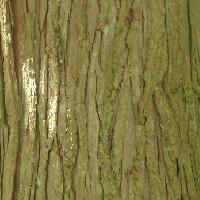 コウヨウザン属 茶色で縦に割れる樹皮