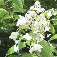 アジサイ属 夏に白い花