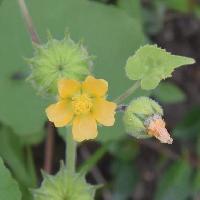 イチビ属 夏 黄色い花