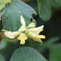 タンキリマメ属 初秋 黄色い小さな花