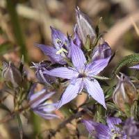 センブリ属 晩秋 小さな薄紫色で紫色の筋が入る