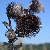 ヤマボクチ属 秋 大きな黒紫色の花