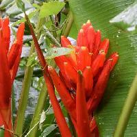 バショウ属 赤い苞の間に黄色い花