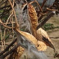 ガガイモ属 綿毛の付いた茶色の細長い種子