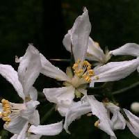 カラタチ属 春 白い花