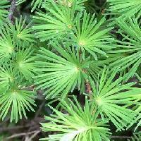 カラマツ属 線状で短い枝では多数輪生するように生える