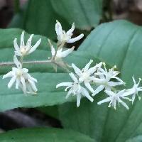 マイヅルソウ属 晩春~初夏 小さな白い花