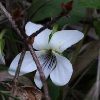 スミレ属 晩春~初夏に 白い花