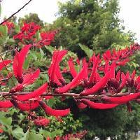 デイゴ属 初夏 細長くて赤い花