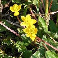 リュウキンカ属 春 黄色い5弁花