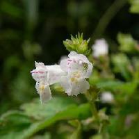 イヌコウジュ属 初秋 ピンク白 小さい花