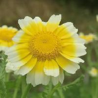 シュンギク属 春に黄