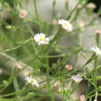 シオン属 晩夏~秋 小さな白い花