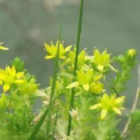 マンネングサ属 初夏 小さな黄色い5弁花