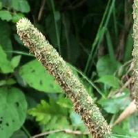 アワガエリ属 初夏に開花 黄緑色