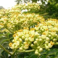 サンショウ属 夏 小さな白い花葯は黄色い