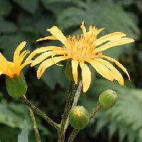 メタカラコウ属 初夏にやや大きな黄色い花