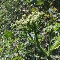 ハナウド属 晩春~初夏 小さな花を多数つける