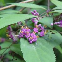 ムラサキシキブ属 小さな薄紫の花