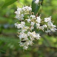 イボタノキ属 晩春 小さい白い花