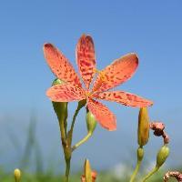アヤメ属 晩春~初夏 6弁の斑紋 オレンジ色の花