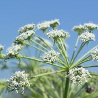 シシウド属 晩夏に小さな白い花を多数